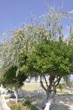 Thassos, Sierpień 20th: Drzewo oliwne w Potos wiosce od Thassos wyspy w Grecja Obrazy Royalty Free