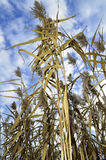 Thatch plants and blue sky. Dry yellow brown straws with bright sky and clouds, nature, field, meadow, wetlands in autumn, harvest Stock Photography