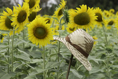 Thatch woven hat in sunflowers field. Royalty Free Stock Image