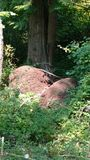 Thatcher ants nests. Two very large thatcher ant mounds side by side stock photos