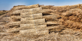 Thatching reed straw for roofing Stock Photo