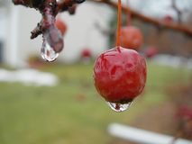 The Thaw. A berry sheds its layer of ice royalty free stock photography