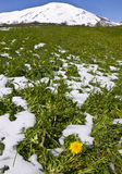 Thaw. Yellow flower in green meadow with thawing snow Royalty Free Stock Images