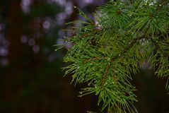 Thaw, pine branch. Pine branch, water droplets on a pine branch, thaw in the wood royalty free stock photo