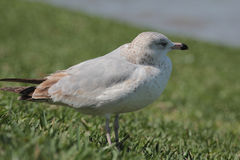 Thayer`s Seagull Stock Photography