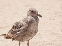 Thayers Gull Royalty Free Stock Photos