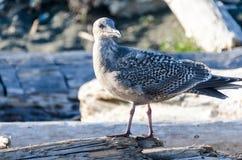 Thayers Möve auf Treibholz, Vancouver Island Stockfotografie