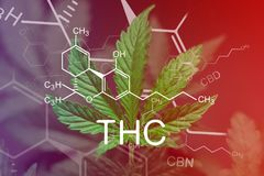 THC Chemical Formula, A beautiful sheet of cannabis marijuana in the defocus with the image of the formula THC CBD CBN abstract. A beautiful sheet of cannabis royalty free stock photos