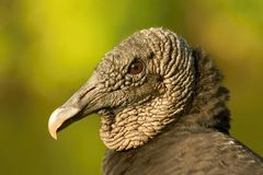 The Black Vulture, Coragyps atratus royalty free stock image