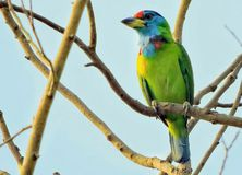 The blue-throated barbet. Bird - The blue-throated barbet Binomial name Psilopogon asiaticus. Family Megalaimidae. Location - Manas National Park, India royalty free stock photos