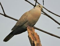 The Eurasian collared dove royalty free stock images
