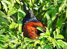 The greater coucal stock image