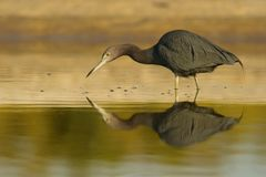 The Little Blue Heron stock photo