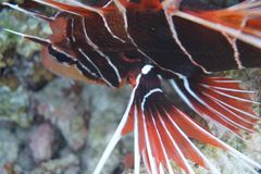 Red lionfish Pterois volitans royalty free stock photo