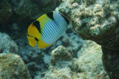 Blackwedged butterflyfish Chaetodon falcula. The Scrawled Butterflyfish Chaetodon meyeri is a species of butterflyfish family Chaetodontidae. It is found Royalty Free Stock Photo