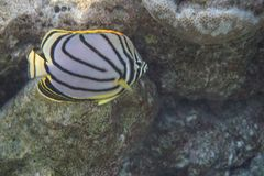 Scrawled butterflyfish Chaetodon meyeri. The Scrawled Butterflyfish Chaetodon meyeri is a species of butterflyfish family Chaetodontidae. It is found in Royalty Free Stock Image