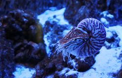 The Chambered nautilus or Nautilus pompilius in neon light in aquarium