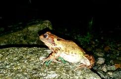 Thegemensam frog& x28; Ranatemporaria& x29; , också bekant som den europeiskagemensamma grodan för theÂ, för allmänningbrunt Royaltyfria Foton