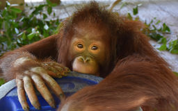 The Baby Orangutan Was Staring Stock Images