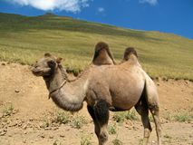 Free The Bactrian Camel Or Two Hump Camel Stock Image - 157316611