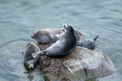 Free The Baikal Seal Nerpa Stock Photos - 82339643