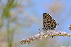 Free The Balkan Pierrot Or Little Tiger Blue Butterfly , Tarucus Balkanicus Stock Photo - 159727160