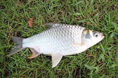 The Barb Of Cyprinidae Fish. Royalty Free Stock Images