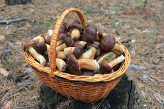 The Basket Of Mushrooms In The Forest Royalty Free Stock Image