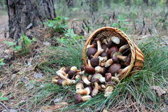 The Basket Of Mushrooms In The Forest Stock Photography