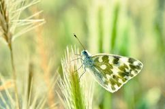 Free The Bath White Butterfly Or Pontia Daplidice Stock Photography - 159727172
