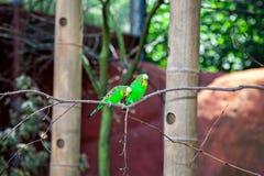 The Beautiful Couple Of Green Budgerigar (Melopsittacus Undulatus) Royalty Free Stock Photos