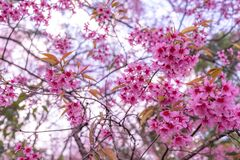 Free The Beautiful Pink Cherry Blossom Flower On The Tree In Winter Season, Chiang Mai, Thailand Stock Images - 172329594