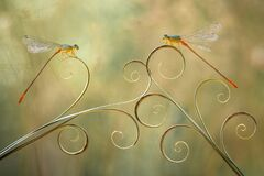 Free The Beautiful Pose Of Dragonflies Stock Photo - 220441050