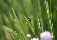 Free The Bee Royalty Free Stock Image - 14951236