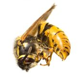 The Bee Royalty Free Stock Image