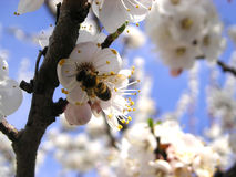 Free The BEE Royalty Free Stock Image - 709286