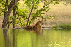Free The Bengal Tiger Panthera Tigris Tigris On The Lake Shore In Ranthambore National Park, India Stock Photo - 164389180