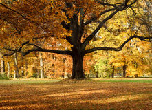 The Big Tree Stock Photography