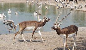 Free The Blackbuck Deer. Royalty Free Stock Photo - 127512245
