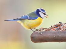 The Blue Tit. Royalty Free Stock Photos