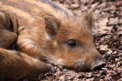 The Boar Or Wild Boar (Sus Scrofa) Royalty Free Stock Photo