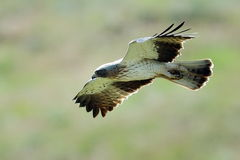 Free The Booted Eagle (Aquila Pennata) Royalty Free Stock Photos - 49315858