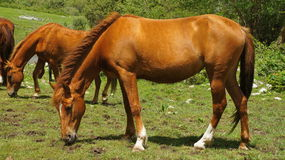 Free The Brown Horse Is Grazed On A Meadow Royalty Free Stock Photos - 33697298