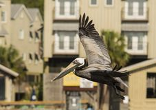 Free The Brown Pelican Royalty Free Stock Photos - 116442288