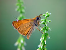 Free The Butterfly Of Family Hesperiidae. Royalty Free Stock Images - 485059