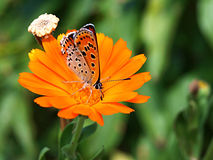 The Butterfly On A Calendula Flower Royalty Free Stock Photos