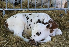 Free The Calf Is Sleeping In The Straw. Royalty Free Stock Photo - 129286895