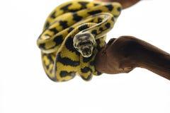 Free The Carpet Tree Python Isolated On White Background Stock Photos - 151527243
