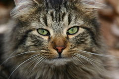 Free The Cat Royalty Free Stock Photo - 2210305