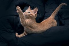 Free The Cat Lies And Pulls Its Paw Up. Red Kitten Plays On A Dark Background. Color Orange Tabby Secondary Color Royalty Free Stock Photography - 163126957